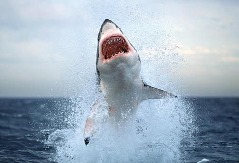The biggest man eating fish is Great White. It is a ferocious fish that has big sharp teeth that it uses to capture its prey. The largest individuals are about 6 metres (20 ft) in length, and 2,268 kilograms (5,000 lb) in weight. It has a life span of about 30+ years. It is extremely fast and agile because of the fact that it has a very streamlined body.