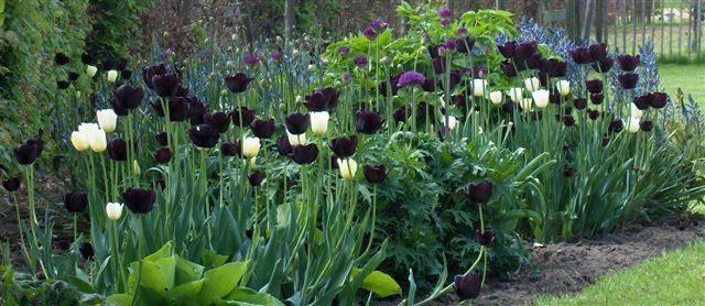 Tulpenbollen planten in het najaar - Uitleg wanneer tulpenbollen te planten in de tuin - soorten tulpen kopen via webwinkel
