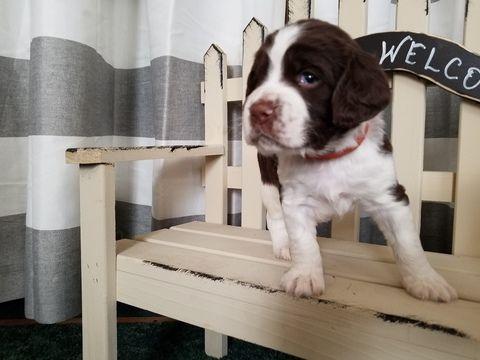 Litter of 6 English Springer Spaniel puppies for sale in HUGHESVILLE, PA. ADN-68249 on PuppyFinder.com Gender: Male. Age: 4 Weeks Old