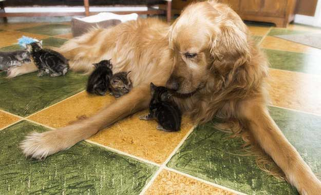 """""""This Dog Who Is The Absolute Best Mom To Her Little Kitties"""""""