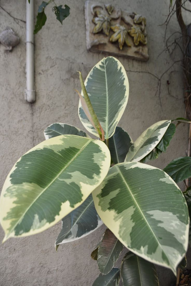 Variegated Ficus Elastica Indoor Plants Ficus