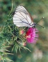 White Butterfly with black selvedges