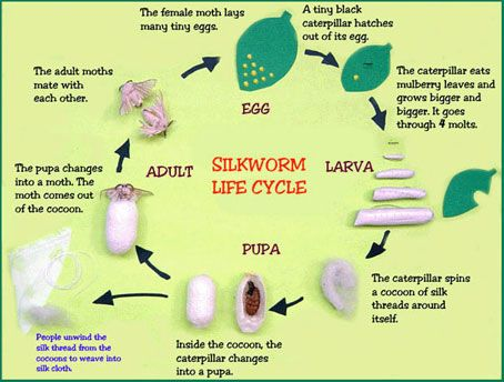 silk worm life cycle chart