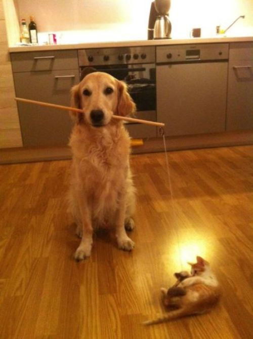 Playing with the kids: Cat, Friends, Funny Dogs, Pet, Kittens, Funny Puppies, Dogs Funny, Animal, Golden Retriever