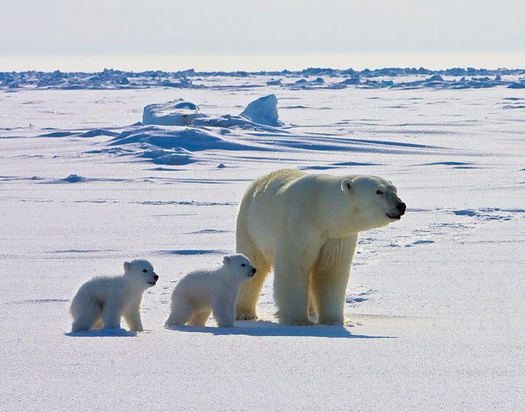 An amazing new video shows #Arctic life from a #polar #bear's point of view.