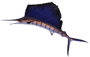 Sailfish (Istiophorus platypterus).The Mediterranean shorelines are ideal for fishing. Many of the marinas provide everything required for a day of open sea fishing. Swordfish fishing off Guardamar and Torrevieja are the most spectacular; it is immortalized in several feature films