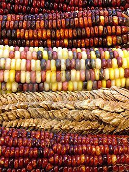 Rainbow colored Indian corn
