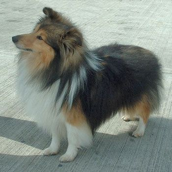 sheltie dogs for adoption | show quality shetland sheepdog sheltie puppies FOR SALE ADOPTION from ...
