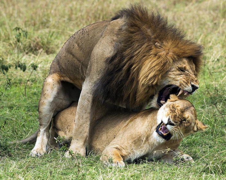 Panthera leo nubica in flagrante delicto.