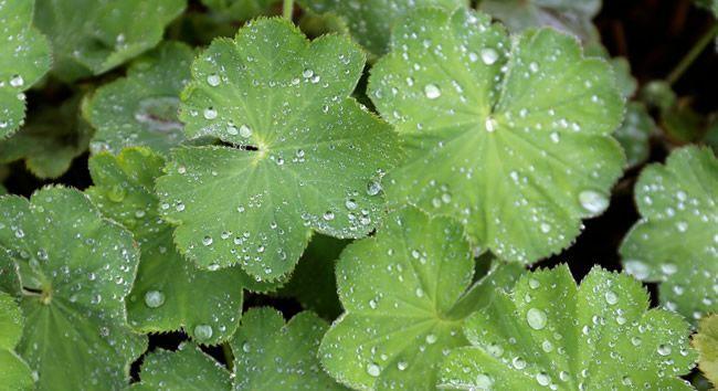 Liečivé účinky alchemilky oceňujú hlavne ženy. Táto nenápadná rastlina má silné účinky, ktoré ale prospejú obom pohlaviam. Prečítajte si, v čom je taká výnimočná a ako sa z nej pripravuje čaj, kúpeľ alebo obklad.