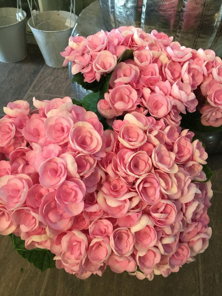 Nydelig rosa hortensia