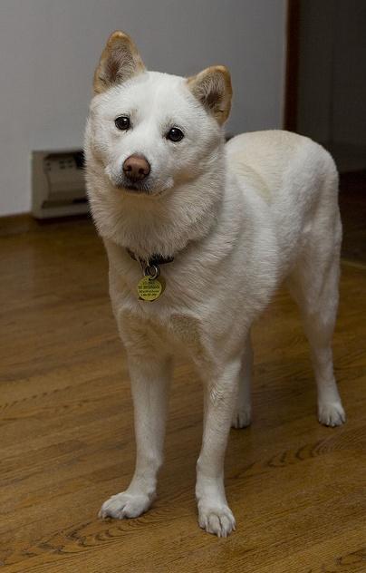 Simple Korea Chubby Adorable Dog - c5529881e2c703473cd6757f1aef966d--awesome-dogs-jindo-dog  Pic_83840  .jpg