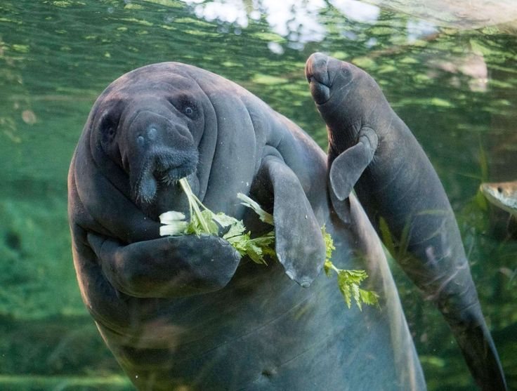 Baby West Indian Manatees are born with molars and can consume sea grass as soon as 3 weeks after being born