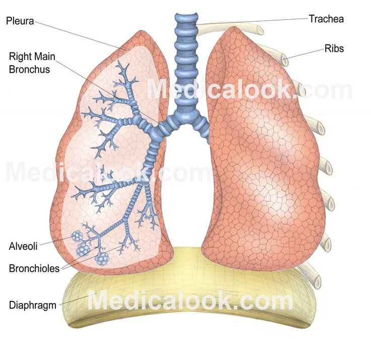 Labeled diagram human lungs - buzzle, Lungs form the ...