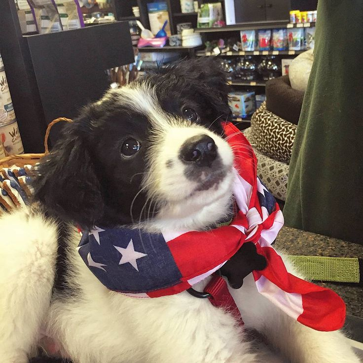 Cutecustomeralert This Patrioticpet And Cutecustomeralert Clyde Supported The Us War Dogs Assoc And Sported His American Patriotic Pets War Dogs Pets