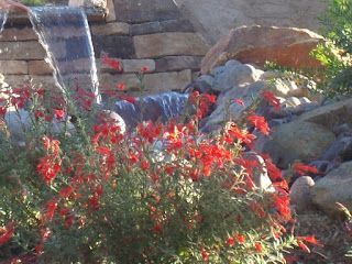 version Landscaping run free   newest   The   Minute Gardener  Photo   Water Feature with California Fuchsia