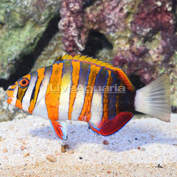Liveaquaria Choerodon Fasciatus In 2020 Aquarium Fish Tropical Aquarium Fish Pet