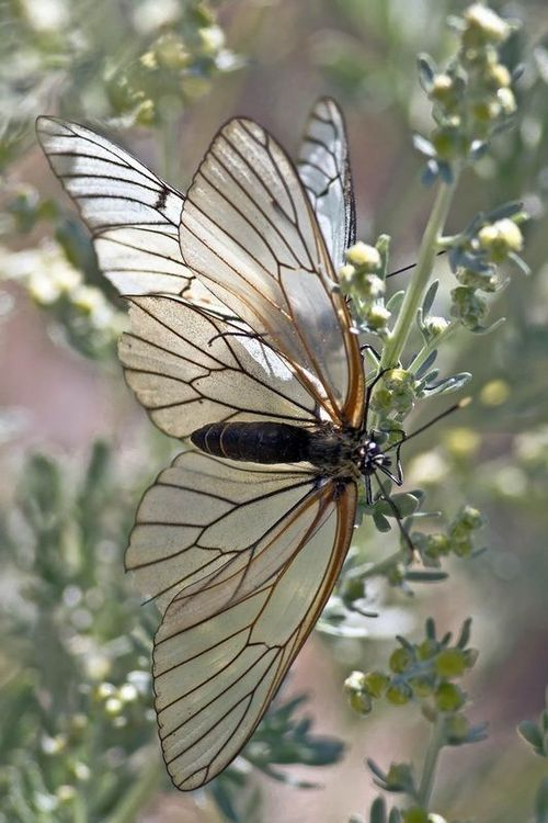 Black-veined White - Aporia Crataegi Butterfly. Found on wildaboutspain.com
