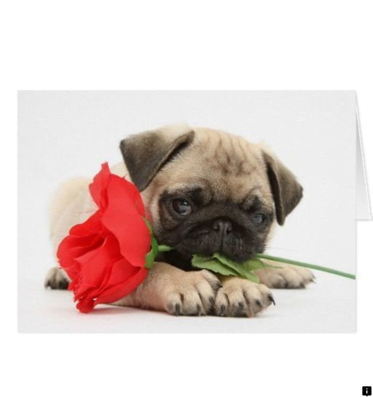 Find Out About Buy A Pug Follow The Link To Read More The