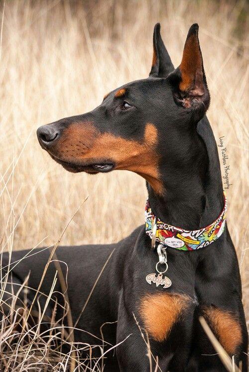 Beautiful Doberman!  Wish Bailey had this ear crop!
