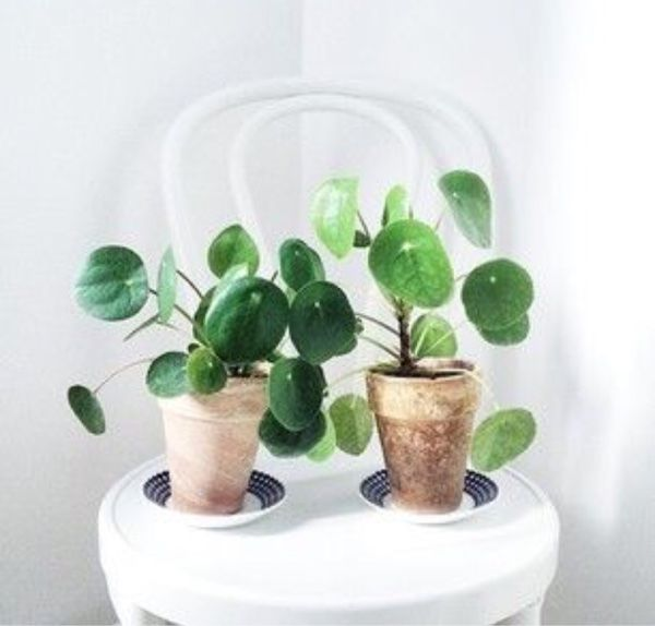 Elefantöra | Chinese Money Plant
