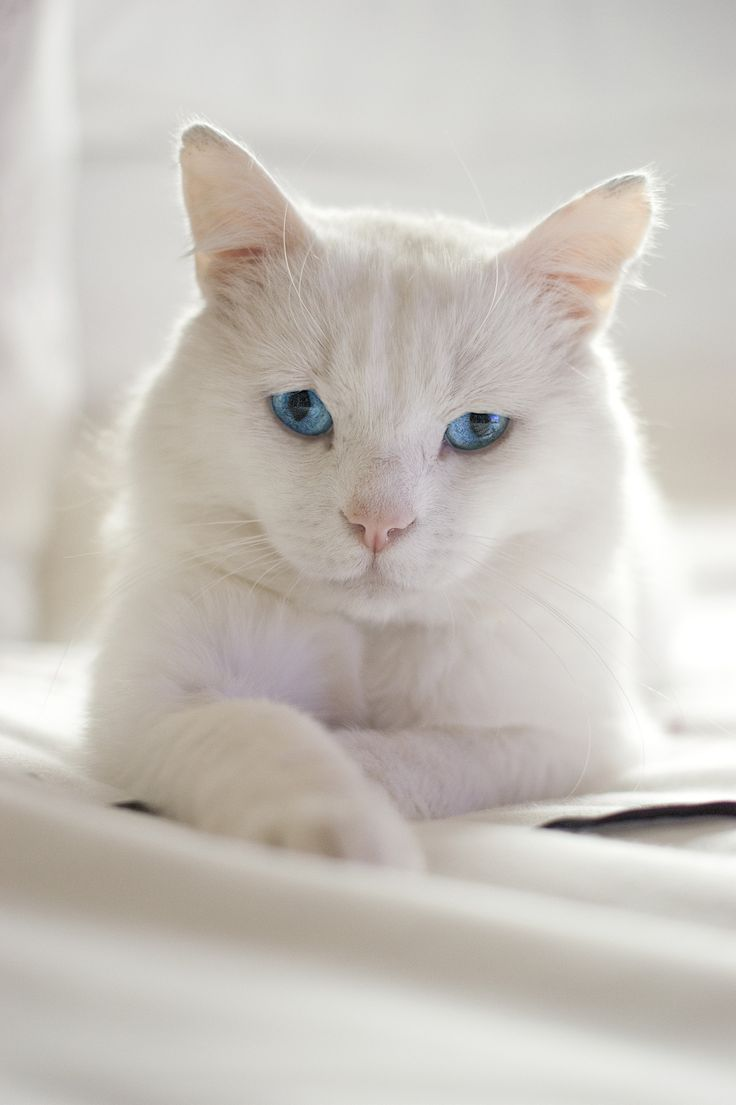 Beautiful Cat! I've always wanted a white cat with blue eyes.