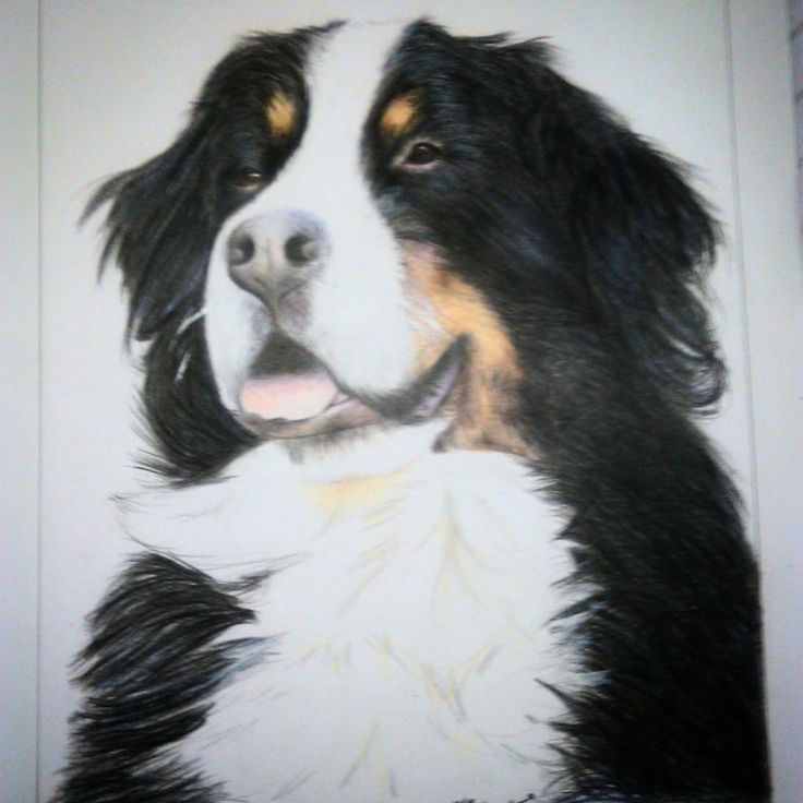 """Bovaro del Bernese"" ""Bernese Mountain Dog"""
