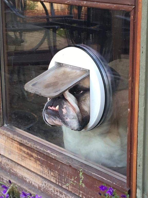 Un bulldog anglais regarde à travers une chatière