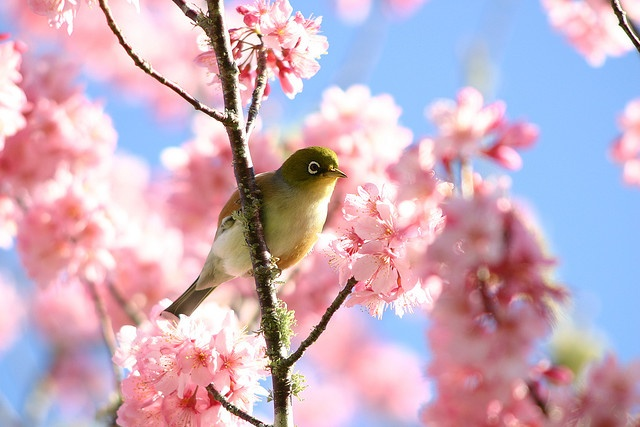 Wax Eye In Cherry Blossoms Bird Pictures Beautiful Birds Cherry Blossom