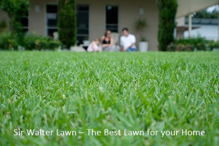Sir Walter Lawn – The Best Lawn for your Home