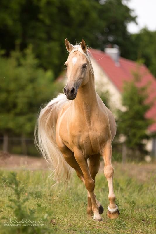 Arabian stallion, photo by Frauke Hesse