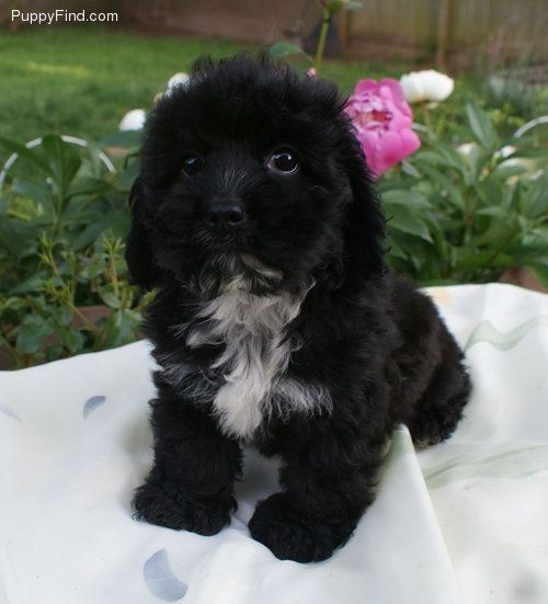 Cockapoo Pictures Puppies Dogs Pinterest Photos
