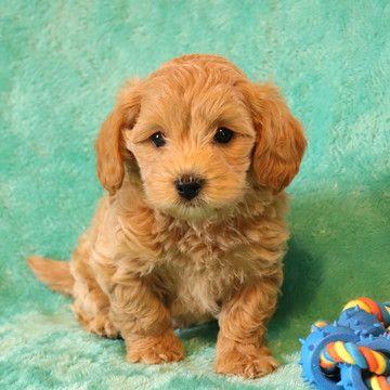 Diffy Maltipoo Puppy For Sale In Pennsylvania Maltipoo Puppies