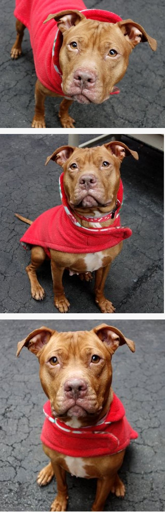 Best Sensibilisationpitbull Images On Pinterest Dogs - 26 dogs puppyhood photos
