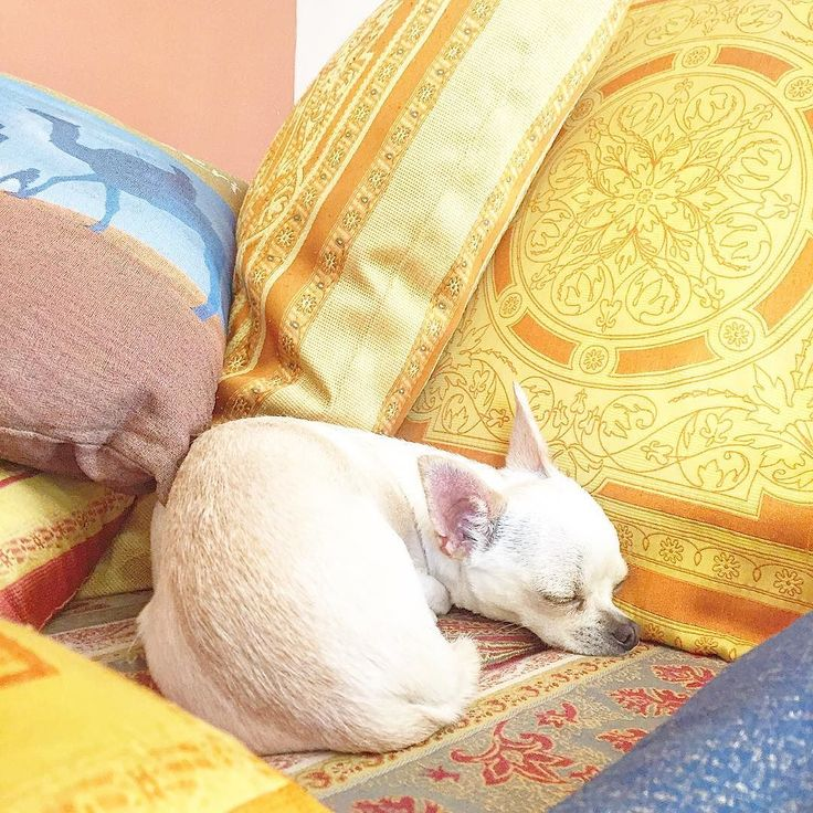 ONE MORE?    #chihuahua #pillow #colorful #instadog #love #cute #instalove