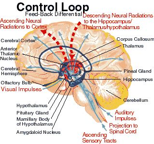 limbic system vs neocortex | ADHD Neurology : The Brain of Inattention, Impulsivity, and ...
