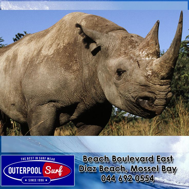 Today, black rhinos remain Critically Endangered because of rising demand for rhino horn, which has driven poaching to record levels. A recent increase in poaching in South Africa threatens to erase our conservation success. A total of 333 rhinos were killed in South Africa in 2010 – almost one a day. #Endangered #BlackRhinos #Species