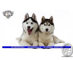 SIBERIAN HUSKY PUPS AVAILABLE ONLY WITH PET DESTINATION +917666666299 in Mumbai, Maharashtra, India in Pet Animals And Accessories category under budget 85000.00 INR ₹