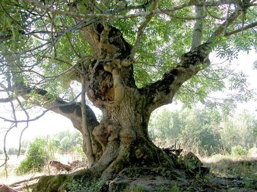asketræ