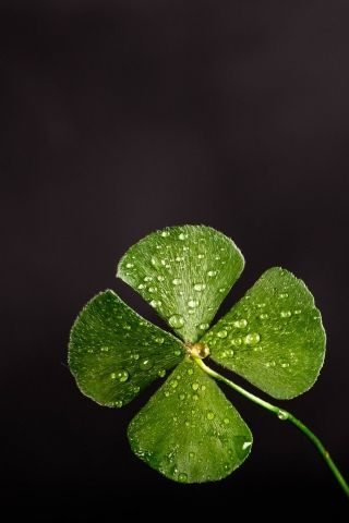 A beautiful macro photography Collection of clover plant and nature wallpapers.