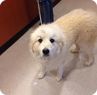 Poughkeepsie, NY - Great Pyrenees Mix. Meet Patty, a dog for adoption. http://www.adoptapet.com/pet/17887448-poughkeepsie-new-york-great-pyrenees-mix