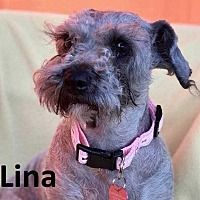 Lake Forest, California - Schnauzer (Miniature). Meet Lina, a for adoption. https://www.adoptapet.com/pet/20632728-lake-forest-california-schnauzer-miniature-mix