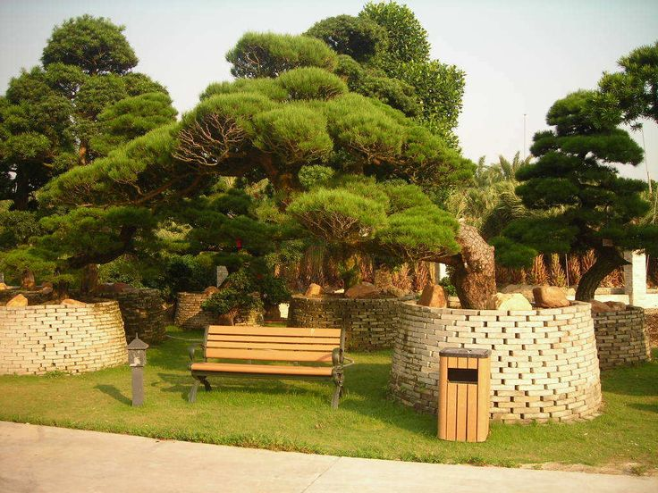 (O))) Podocarpus macrophyllus
