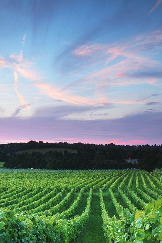 Denbie's Vineyard, Dorking, Surrey (by craig.denford)
