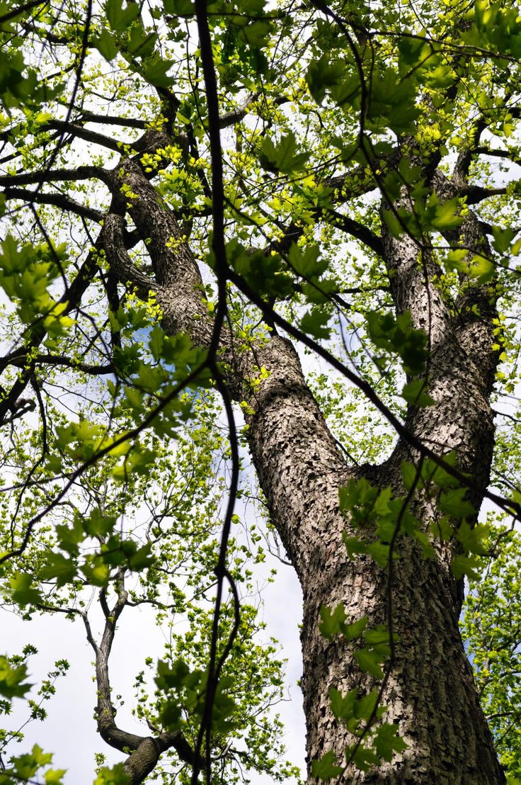 51 best images about ulmus on pinterest the dutchess for American elm