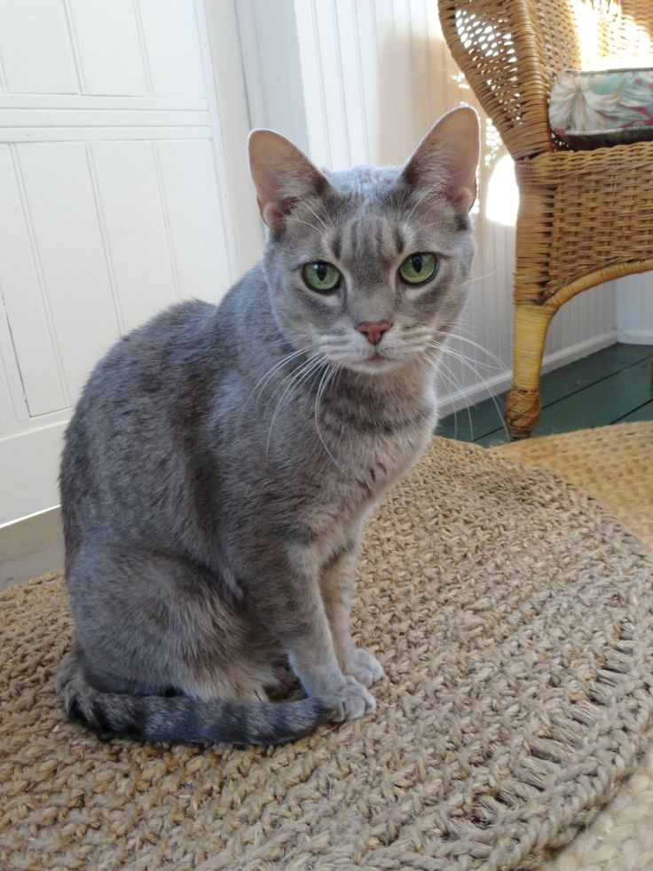 last but certainly not least our 5th ocicat zoey they call her coloring blue