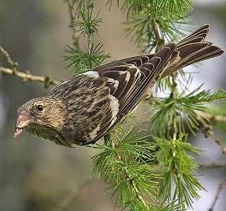 Korsnäbb, Bändelkorsnäbb, Loxia leucoptera - Fåglar - NatureGate