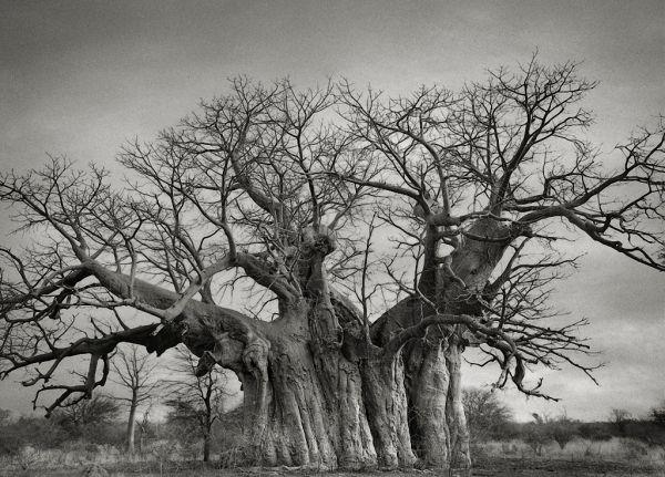 Самые старые деревья на Земле - 11 Января 2016 - Земля - Хроники жизни