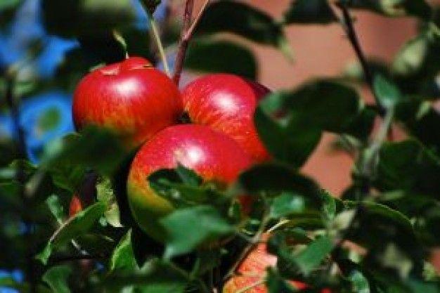 WWW  Wiersze Wycieczki Wspomnienia: Haiku: Czerwień jesiennych jabłek