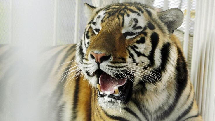 LSU mascot Mike VI dies after cancer battle